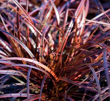 Uncinia rubra 'Belinda's Find' 1