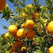 Citrus aurantium var. myrtifolia