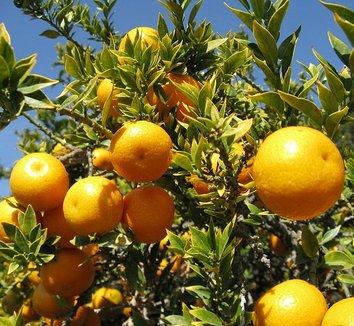 Citrus aurantium var. myrtifolia 1