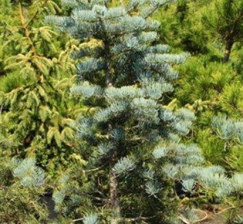 Abies concolor 'Glenmore' 1 form