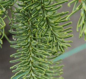 Abies procera 'Delbar Cascade' 1