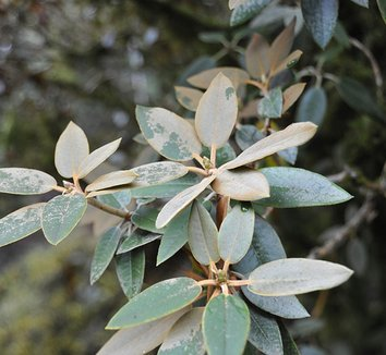 Rhododendron pachysanthum 4