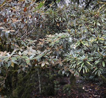 Rhododendron pachysanthum 6