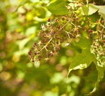 Acer campbellii 'Exuberance' 1