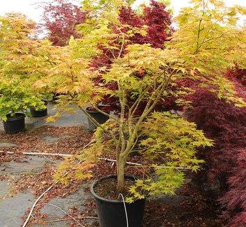 Acer palmatum 'Elmwood' 1 form