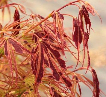 Acer palmatum 'Manyo no sato' 1