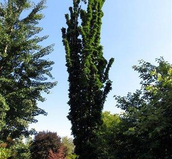 Acer saccharum 'Newton Sentry' 1 form