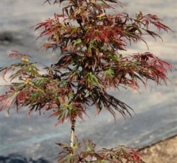 Acer shirasawanum 'Kawaii' 1 form