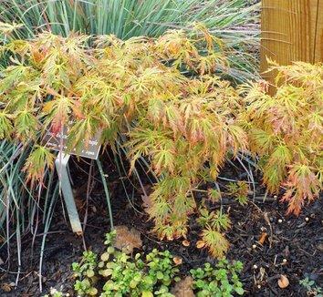 Acer shirasawanum 'Kawaii' 8