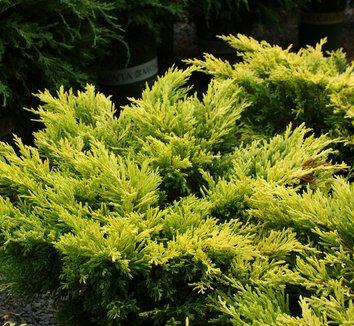 Juniperus horizontalis 'Lime Glow' 4