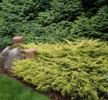 Juniperus horizontalis 'Lime Glow' 1