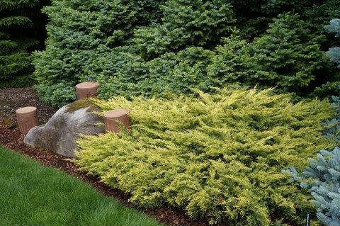 Juniperus Horizontalis Lime Glow Juniperus
