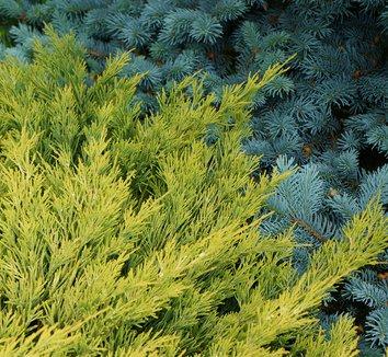 Juniperus horizontalis 'Lime Glow' 5