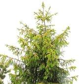 Picea abies 'Aurea Jakobsen'