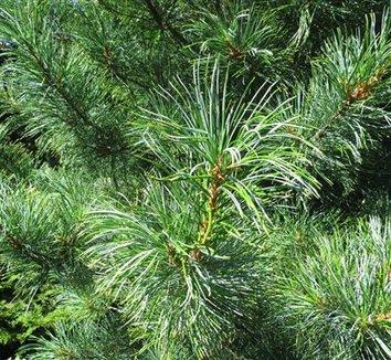 Pinus koraiensis 'Silveray' 1