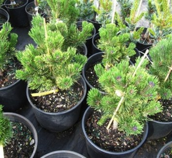 Pinus mugo 'Yellow Point' 6