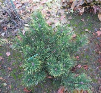 Pinus mugo 'Yellow Point' 4