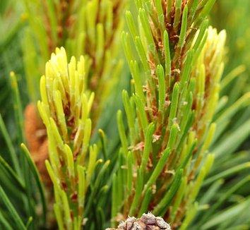 Pinus mugo 'Yellow Point' 9