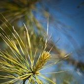 Pinus 'Bergman's Variegated'