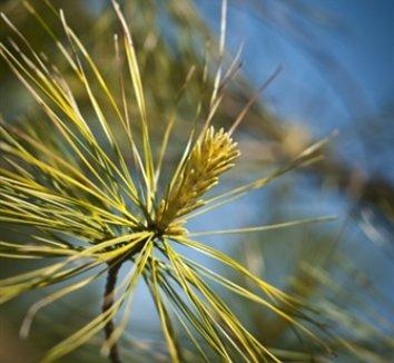 Pinus 'Bergman's Variegated' 1