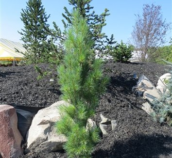 Pinus strobus 'Stowe Pillar' 1 form