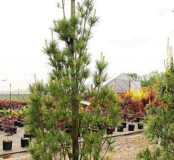 Pinus strobus 'Stowe Pillar' 5 form
