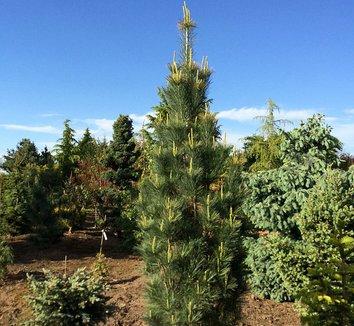 Pinus strobus 'Stowe Pillar' 4 form