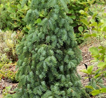 Abies procera 'La Graciosa' 1 form