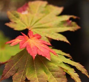 Acer japonicum 'Giant Moon' 1