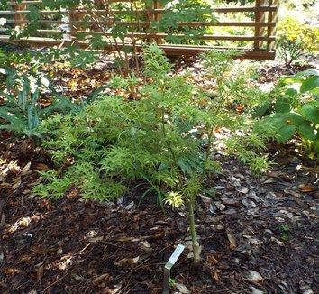 Acer palmatum 'Manyo no sato' 7 form