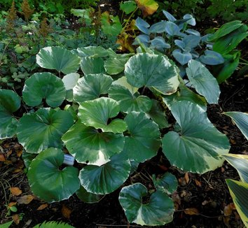 Farfugium japonicum 'Argenteum' 7