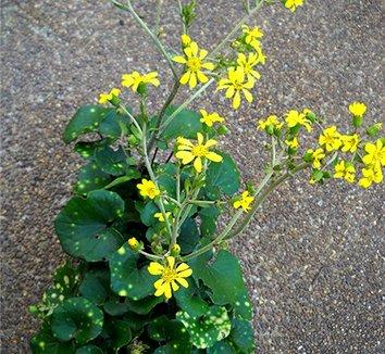 Farfugium japonicum 'Aureomaculatum' 6 flower