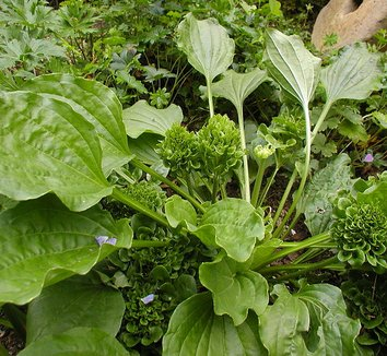 Plantago major 'Rosularis' 1