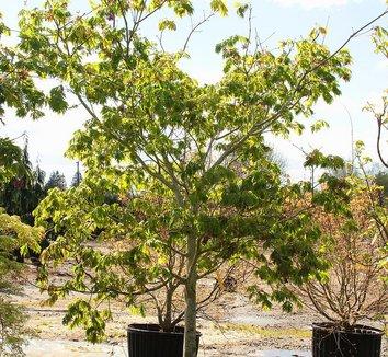 Acer japonicum 'Aconitifolium' 14 form