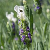 Lavandula 'Bee Happy' PP12573