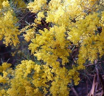 Acacia boormanii 1 flower