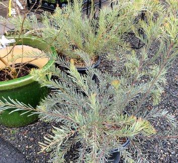 Acacia boormanii 4