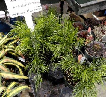 Acacia cognata 3
