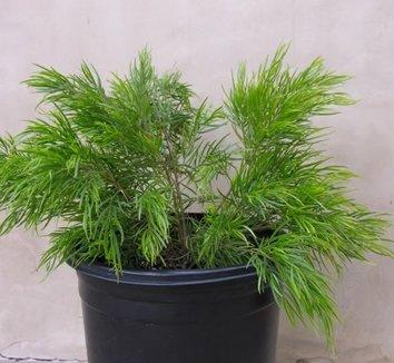 Acacia cognata 'Cousin Itt' 2 form