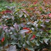 Mahonia aquifolium 'Compactum'