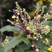 Berberis aquifolium 'Golden Abundance'