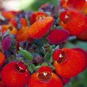 Calceolaria 'Brigra Orange'