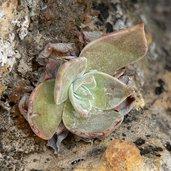 Dudleya arizonica