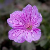 Geranium 'Breathless'