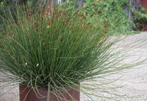 Chondropetalum 39 el campo 39 el campo small cape rush for Tall ornamental grasses for shaded areas