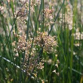 Juncus 'Carman's Japan'