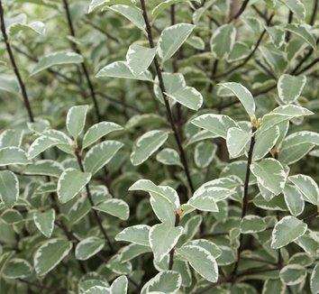 Pittosporum tenuifolium 'Marjorie Channon' 6