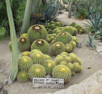 Echinocactus grusonii 14 form