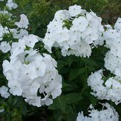 Phlox carolina 'Miss Lingard'