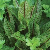 Rumex sanguineus 'Red Halley'